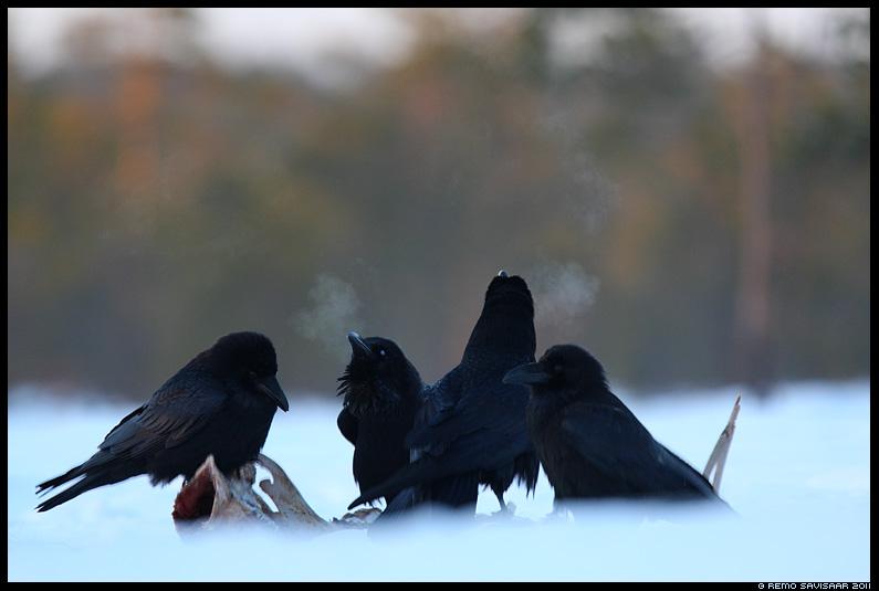 Ronk, Raven, Corvus corax