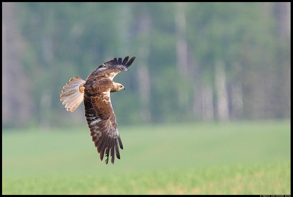 Roo-loorkull, Marsh Harrier, Circus aeruginosus   Remo Savisaar Eesti loodus  Estonian Estonia Baltic nature wildlife photography photo blog loodusfotod loodusfoto looduspilt looduspildid