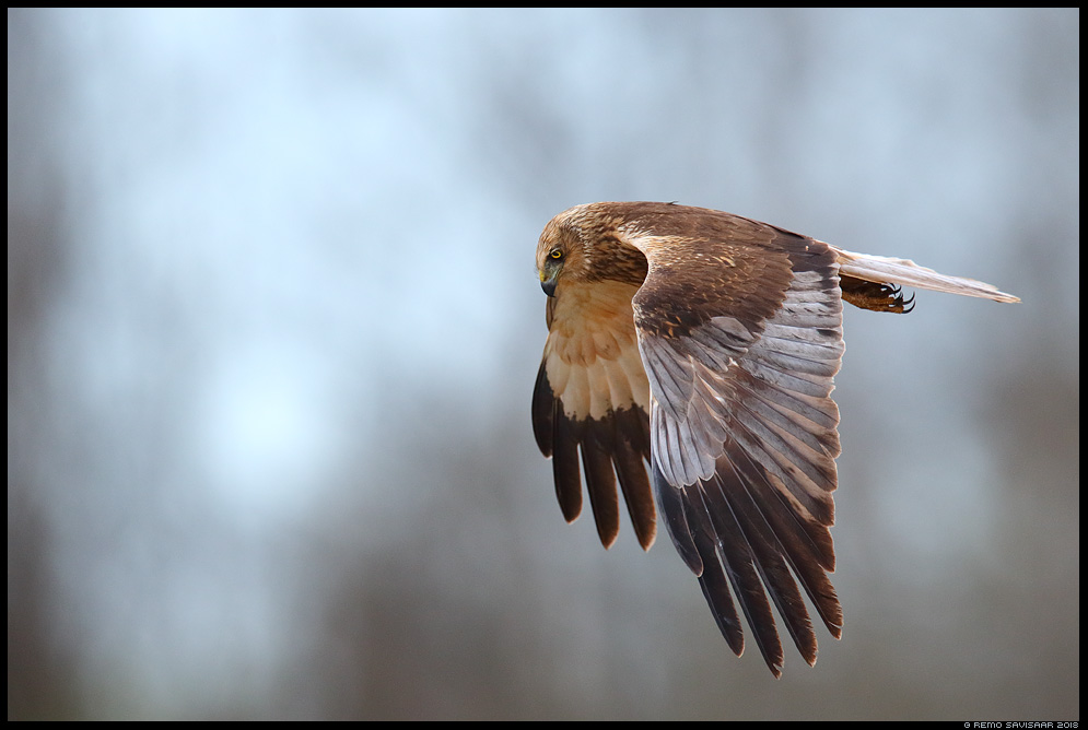 Roo-loorkull, Marsh Harrier, Circus aeruginosus jaht jahil hunting  Remo Savisaar Eesti loodus  Estonian Estonia Baltic nature wildlife photography photo blog loodusfotod loodusfoto looduspilt looduspildid