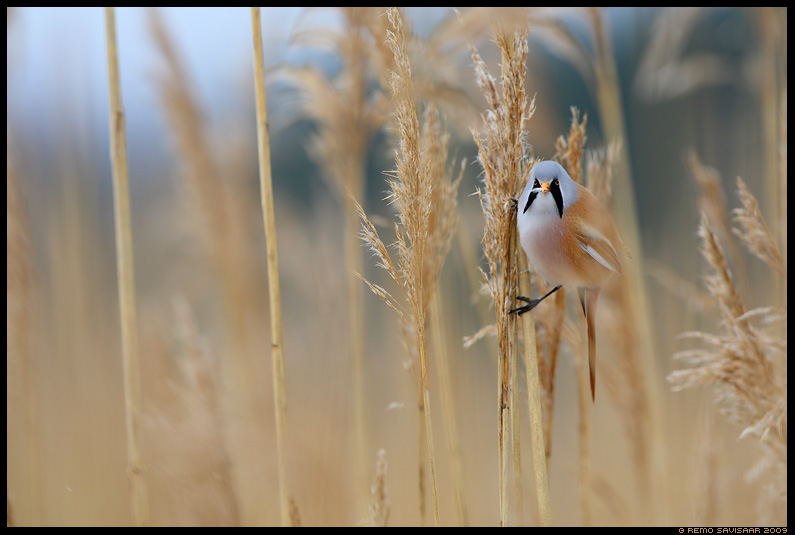 Roohabekas, Bearded Tit, Panurus biarmicus 