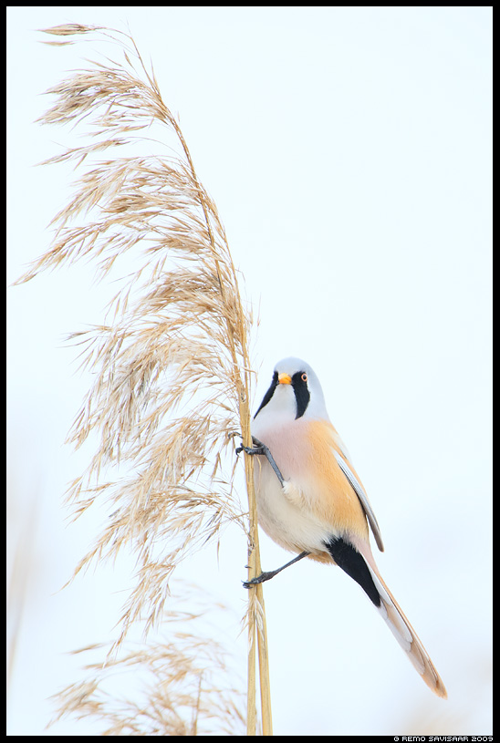 Roohabekas, Bearded Tit, Panurus biarmicus  Remo Savisaar Eesti loodus  Estonian Estonia Baltic nature wildlife photography photo blog loodusfotod loodusfoto looduspilt looduspildid