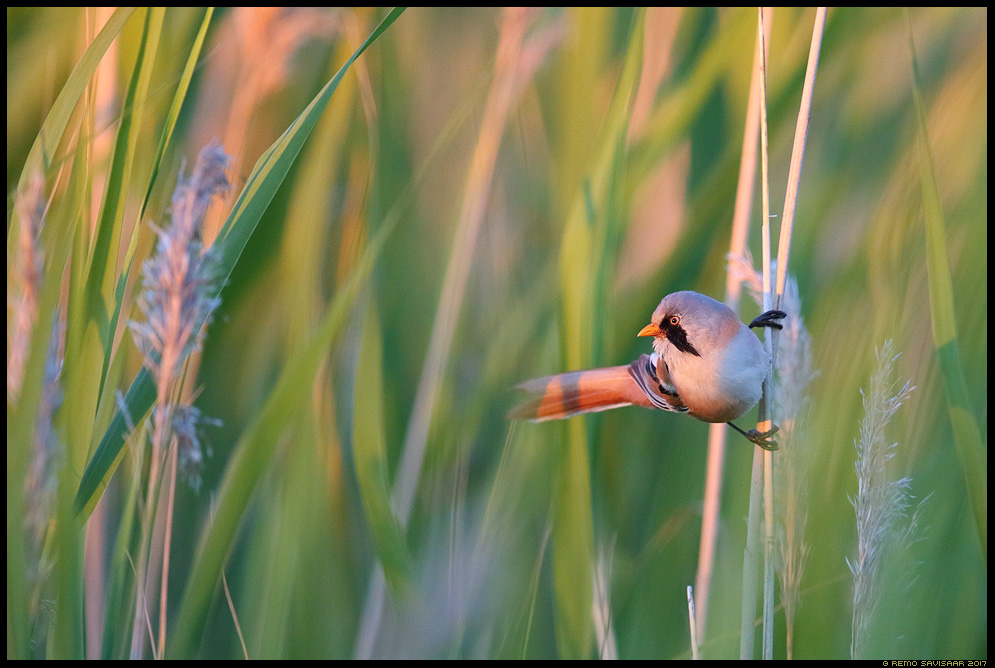 Roohabekas, Bearded Tit, Panurus biarmicus hiiumaa island Remo Savisaar Eesti loodus Estonian Estonia Baltic nature wildlife photography photo blog loodusfotod loodusfoto looduspilt looduspildid landscape nature wild wildlife nordic
