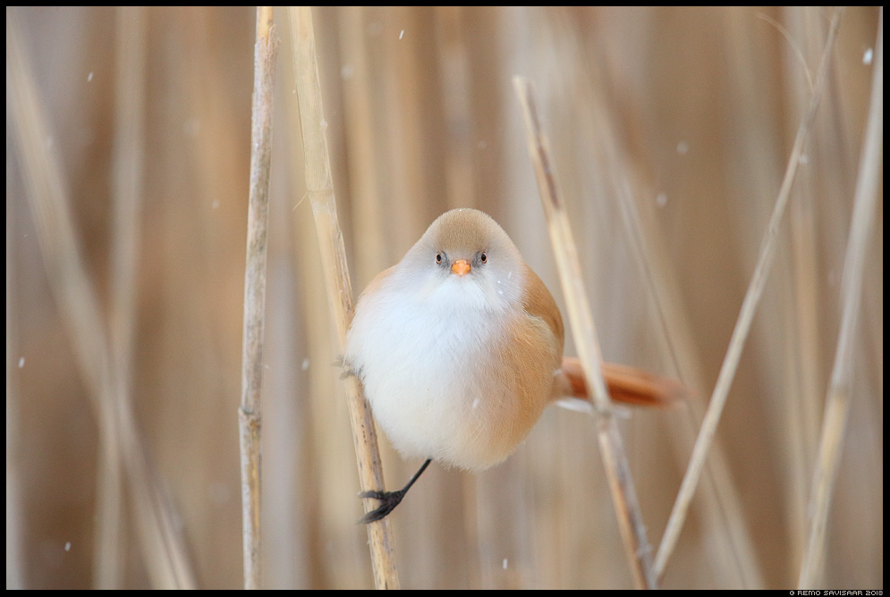 Roohabekas, Bearded Tit, Panurus biarmicus roovilbas tartumaa lumesadu snowfall Remo Savisaar Eesti loodus Estonian Estonia Baltic nature wildlife photography photo blog loodusfotod loodusfoto looduspilt looduspildid landscape nature wild wildlife nordic