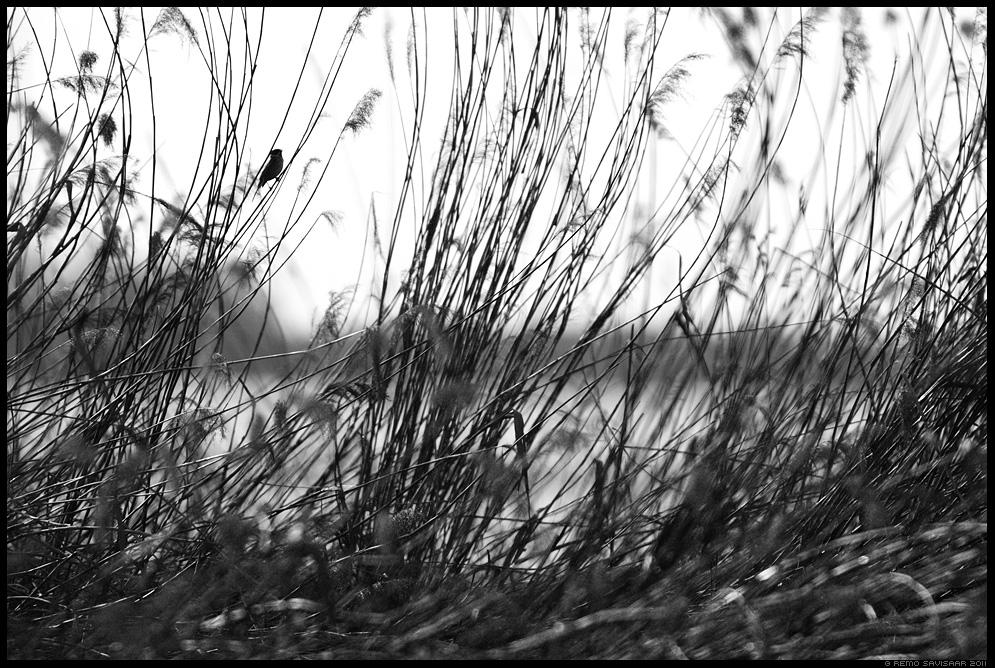 Rootsiitsitaja, Reed bunting, Emberiza schoeniclus, roostik, pilliroog, mustvalge, bw, kevad, spring