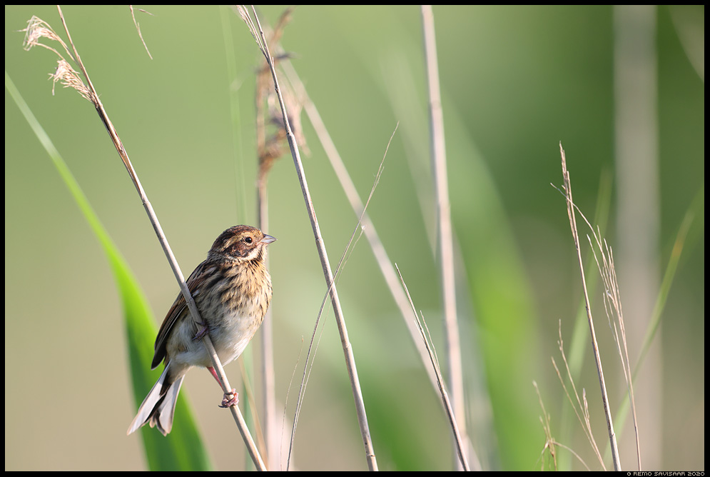 Rootsiitsitaja, Reed bunting, Emberiza schoeniclus  Remo Savisaar Eesti loodus  Estonian Estonia Baltic nature wildlife photography photo blog loodusfotod loodusfoto looduspilt looduspildid
