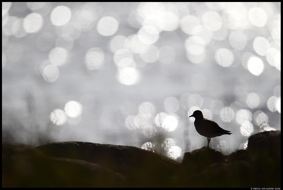 Rüüt, Golden Plover, Pluvialis apricaria Remo Savisaar Eesti loodus Estonian Estonia Baltic nature wildlife photography photo blog loodusfotod loodusfoto looduspilt looduspildid