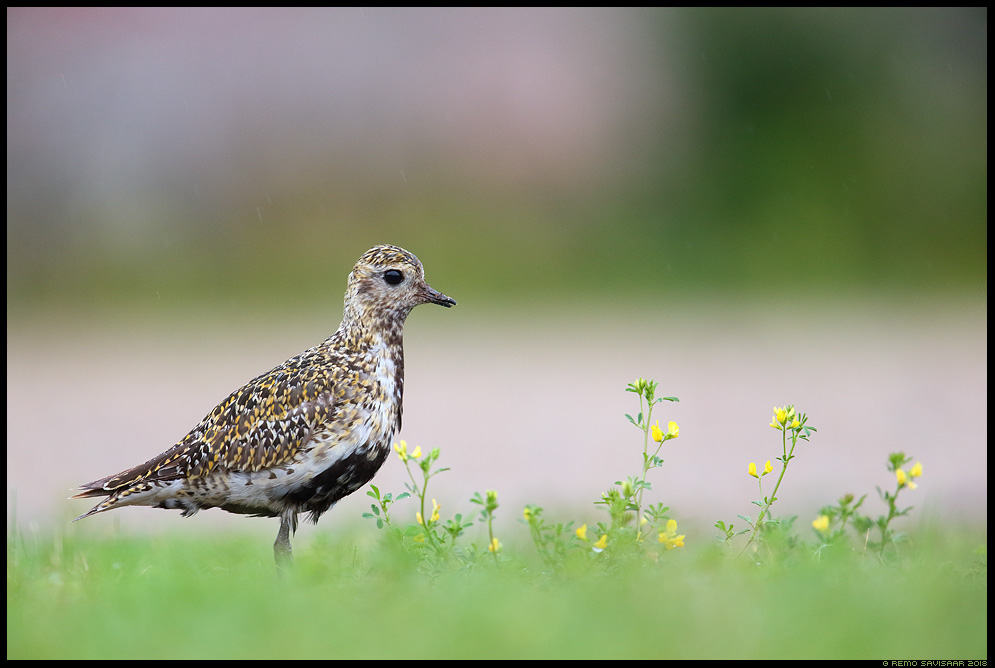 Rüüt, Golden Plover, Pluvialis apricaria hiiumaa kõpu vihmasadu Remo Savisaar Eesti loodus Estonian Estonia Baltic nature wildlife photography photo blog loodusfotod loodusfoto looduspilt looduspildid landscape nature wild wildlife nordic