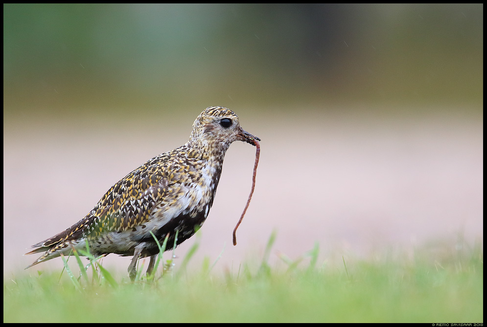 Rüüt, Golden Plover, Pluvialis apricaria hiiumaa kõpu vihmauss earthworm Remo Savisaar Eesti loodus Estonian Estonia Baltic nature wildlife photography photo blog loodusfotod loodusfoto looduspilt looduspildid landscape nature wild wildlife nordic