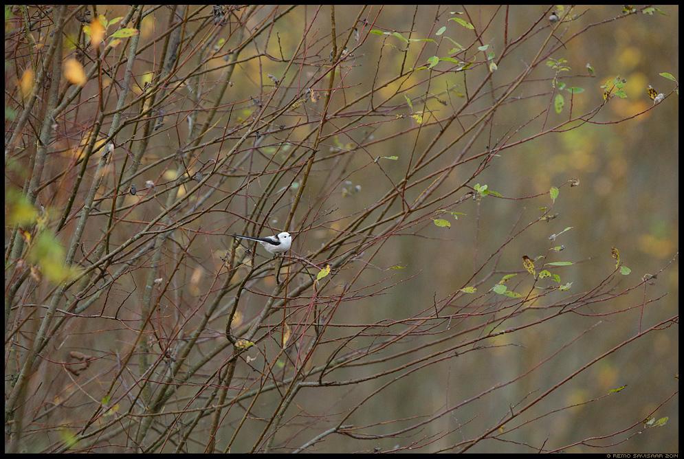 Sabatihane, Long-tailed Tit, Aegithalos caudatus Remo Savisaar Eesti loodus Estonian Estonia Baltic nature wildlife photography photo blog loodusfotod loodusfoto looduspilt looduspildid