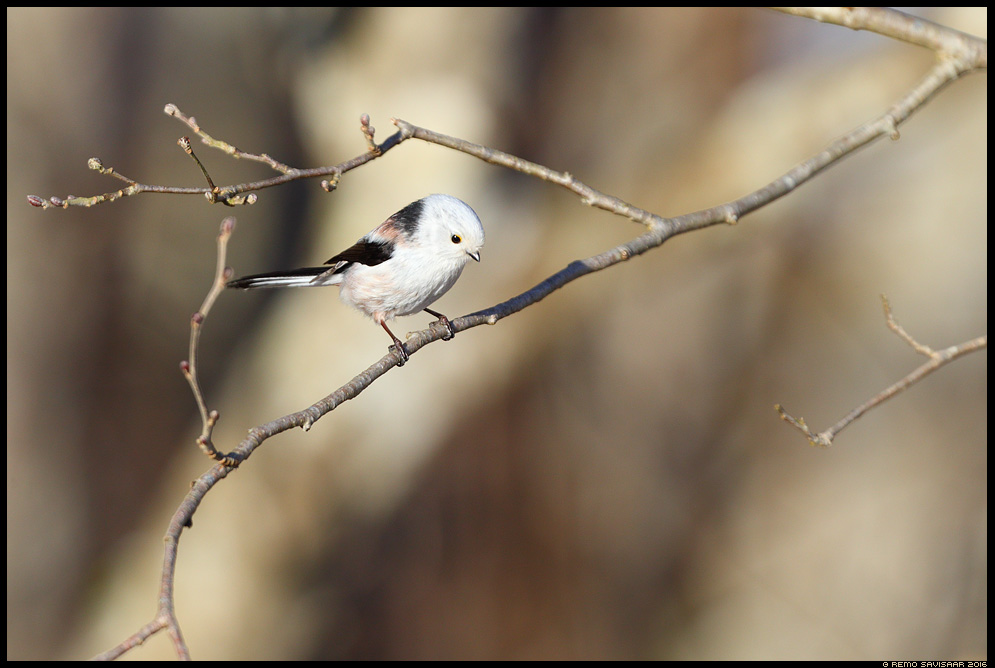 Sabatihane, Long-tailed Tit, Aegithalos caudatus Remo Savisaar Eesti loodus Estonian Estonia Baltic nature wildlife photography photo blog loodusfotod loodusfoto looduspilt looduspildid