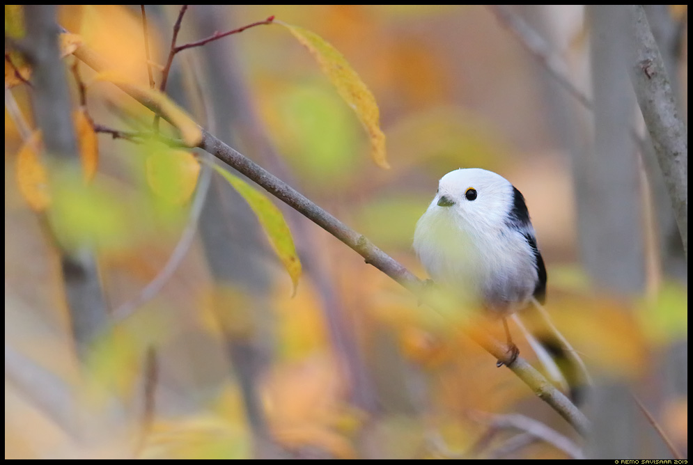 Sabatihane, Long-tailed Tit, Aegithalos caudatus sügis autumn fall Remo Savisaar Eesti loodus  Estonian Estonia Baltic nature wildlife photography photo blog loodusfotod loodusfoto looduspilt looduspildid