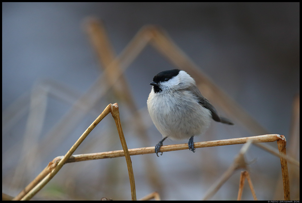 Salutihane, Marsh Tit, Parus palustris Remo Savisaar Eesti loodus Estonian Estonia Baltic nature wildlife photography photo blog loodusfotod loodusfoto looduspilt looduspildid landscape nature wild wildlife nordic