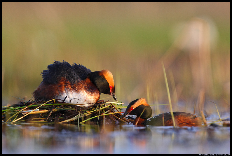 Sarvikptt, Slavonian Grebe, Podiceps auritus, pesa, pesal, haudumas, nest, nesting, kevad, spring, ptipaar, couple