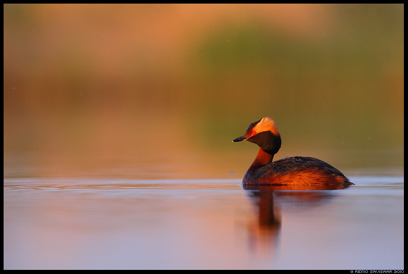 Sarvikptt, Slavonian Grebe, Podiceps auritus