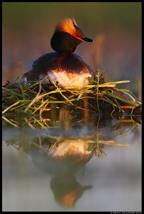 Sarvikpütt, Slavonian Grebe, Podiceps auritus, pesa, pesal, haudumas, nest, nesting, kevad, spring, peegeldus, reflection