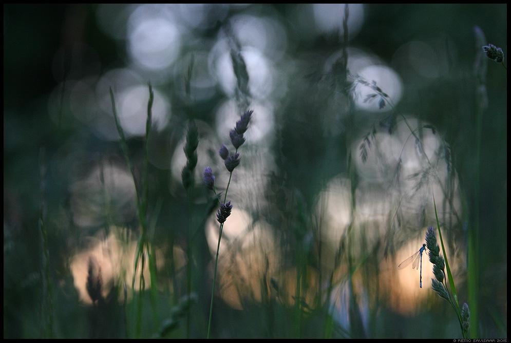 Seenliidrik, Common Blue Damselfy, Enallagma cyathigerum minimalism minimalistic kiil dragonfly Remo Savisaar Eesti loodus  Estonian Estonia Baltic nature wildlife photography photo blog loodusfotod loodusfoto looduspilt looduspildid