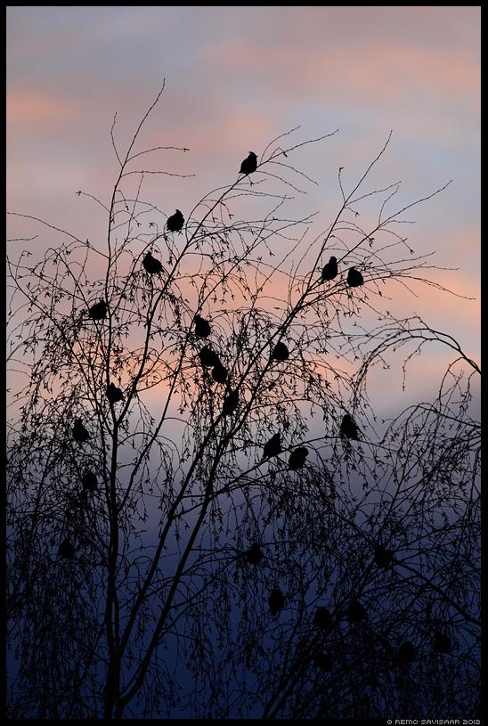 Siidisaba, Waxwing, Bombycilla garrulus, sunset, päikeseloojang, gloomy, hämar, siluett, silhouette