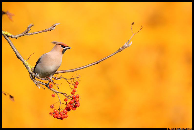 Siidisaba, Waxwing, Bombycilla garrulus, sgis
