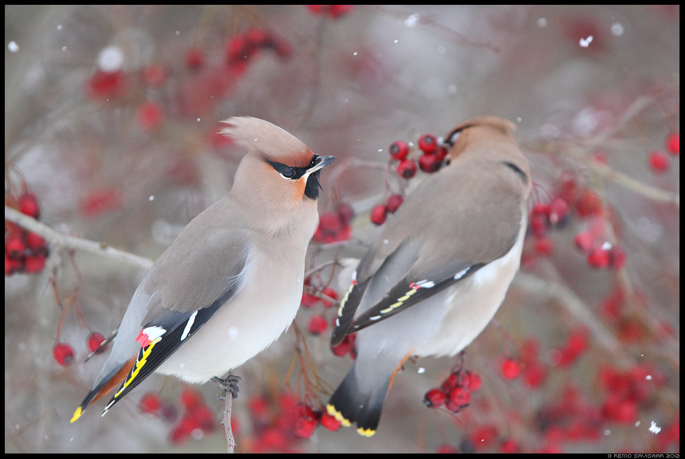 Siidisaba, Waxwing, Bombycilla garrulus talikülaline talikülalised Remo Savisaar Eesti loodus Estonian Estonia Baltic nature wildlife photography photo blog loodusfotod loodusfoto looduspilt looduspildid