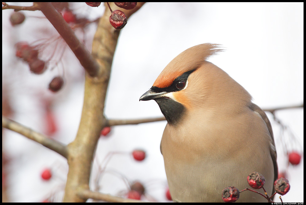 Siidisaba, Waxwing, Bombycilla garrulus portree portrait Remo Savisaar Eesti loodus Estonian Estonia Baltic nature wildlife photography photo blog loodusfotod loodusfoto looduspilt looduspildid