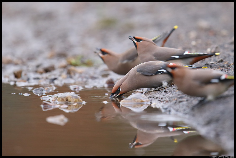 Siidisaba, Waxwing, Bombycilla garrulus joomas drinking janu Remo Savisaar Eesti loodus Estonian Estonia Baltic nature wildlife photography photo blog loodusfotod loodusfoto looduspilt looduspildid