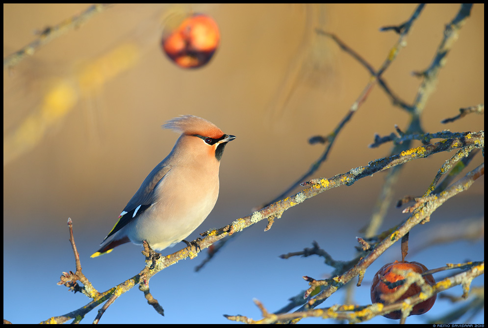 Siidisaba, Waxwing, Bombycilla garrulus õun apple Remo Savisaar Eesti loodus  Estonian Estonia Baltic nature wildlife photography photo blog loodusfotod loodusfoto looduspilt looduspildid