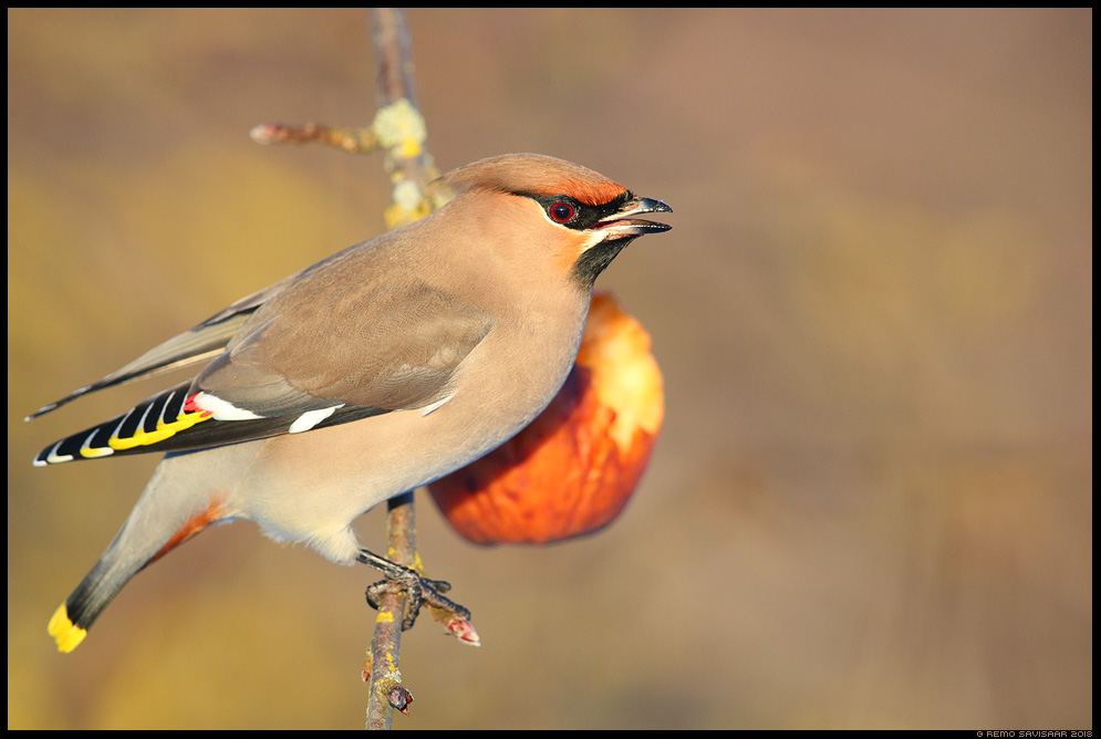 Siidisaba, Waxwing, Bombycilla garrulus õun apple õunapuu Remo Savisaar Eesti loodus  Estonian Estonia Baltic nature wildlife photography photo blog loodusfotod loodusfoto looduspilt looduspildid