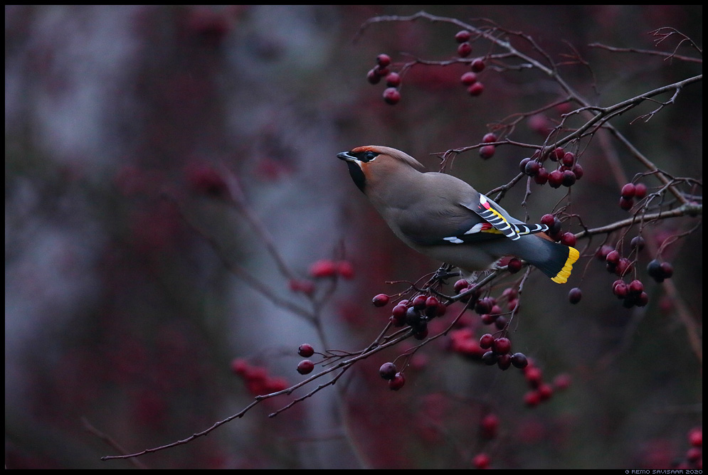 Siidisaba, Waxwing, Bombycilla garrulus Remo Savisaar Eesti loodus  Estonian Estonia Baltic nature wildlife photography photo blog loodusfotod loodusfoto looduspilt looduspildid