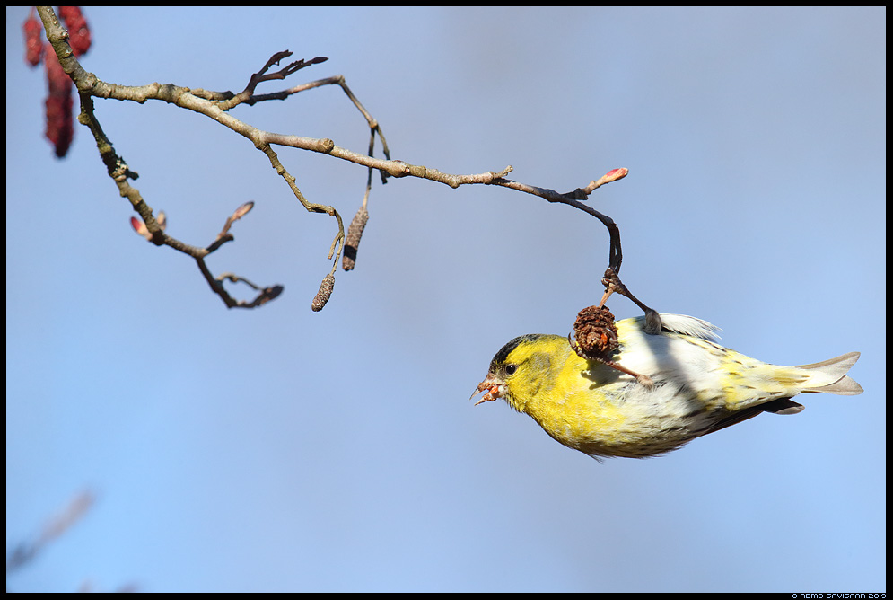 Siisike, Siskin, Carduelis spinus  lepp lepakäbi Remo Savisaar Eesti loodus Estonian Estonia Baltic nature wildlife photography photo blog loodusfotod loodusfoto looduspilt looduspildid
