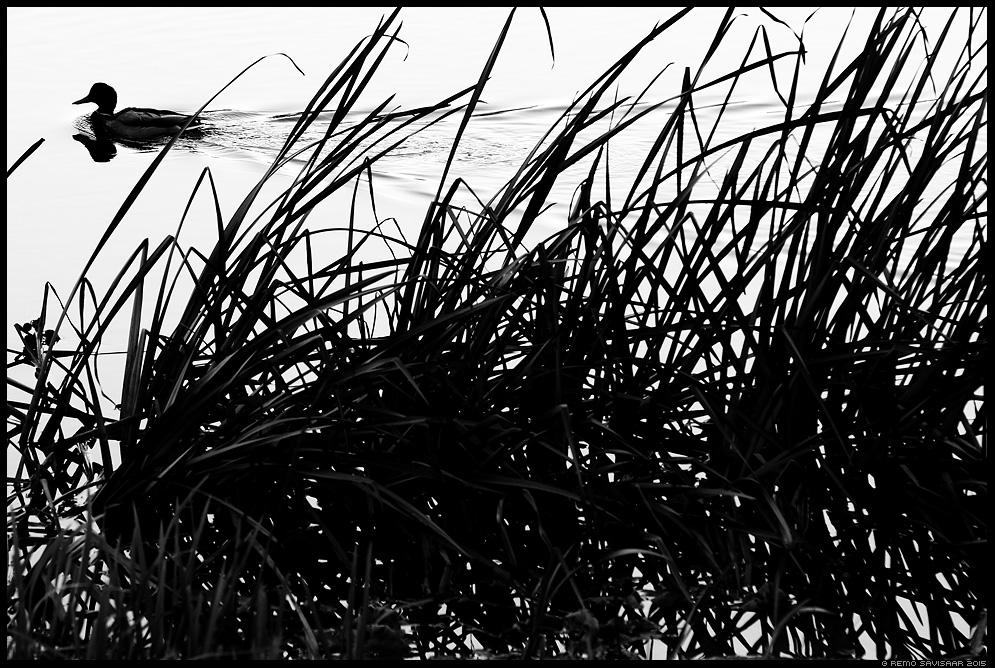 Sinikael-part, Mallard, Anas platyrhynchos mustvalge Remo Savisaar Eesti loodus  Estonian Estonia Baltic nature wildlife photography photo blog loodusfotod loodusfoto looduspilt looduspildid