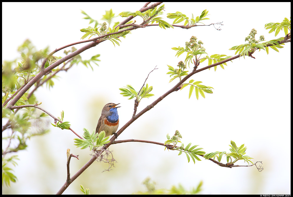 Luha-sinirind, Bluethroat, Luscinia svecica Remo Savisaar Eesti loodus  Estonian Estonia Baltic nature wildlife photography photo blog loodusfotod loodusfoto looduspilt looduspildid