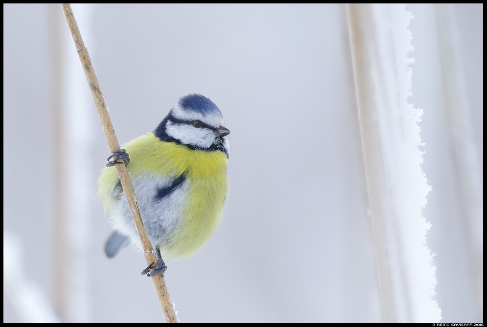 Sinitihane, Blue tit, Parus caeruleus talv talvine Remo Savisaar Eesti loodus  Estonian Estonia Baltic nature wildlife photography photo blog loodusfotod loodusfoto looduspilt looduspildid