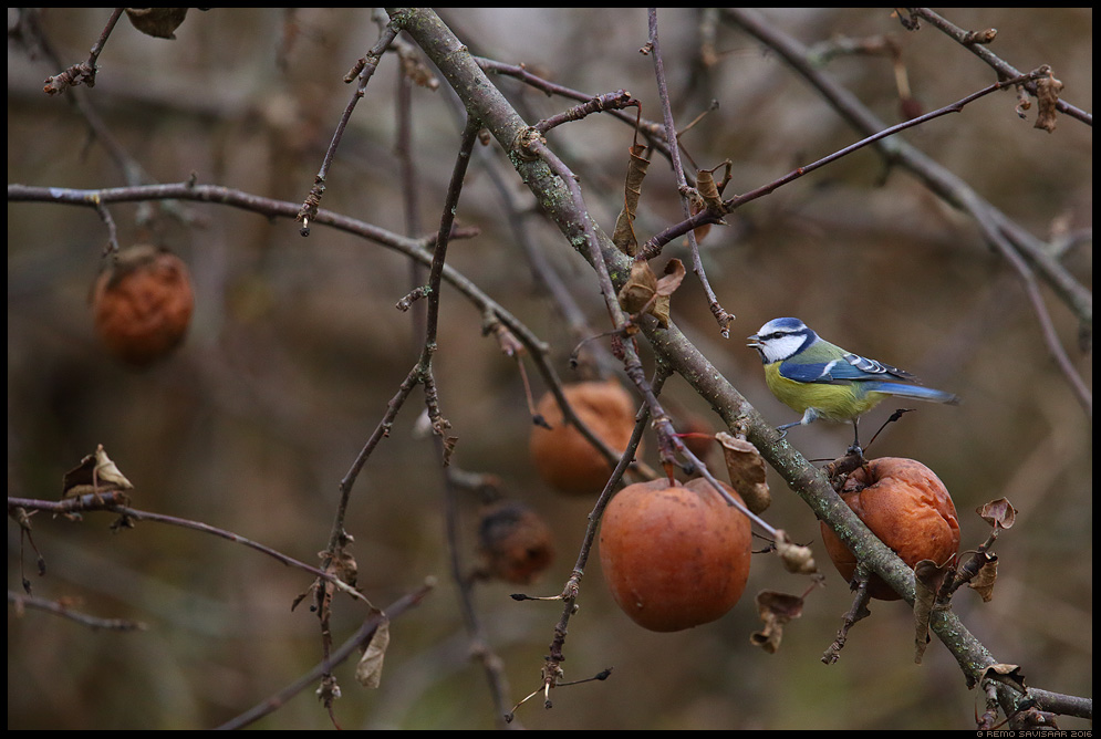 Sinitihane, Blue tit, Parus caeruleus õunad sügis fall apples Remo Savisaar Eesti loodus  Estonian Estonia Baltic nature wildlife photography photo blog loodusfotod loodusfoto looduspilt looduspildid