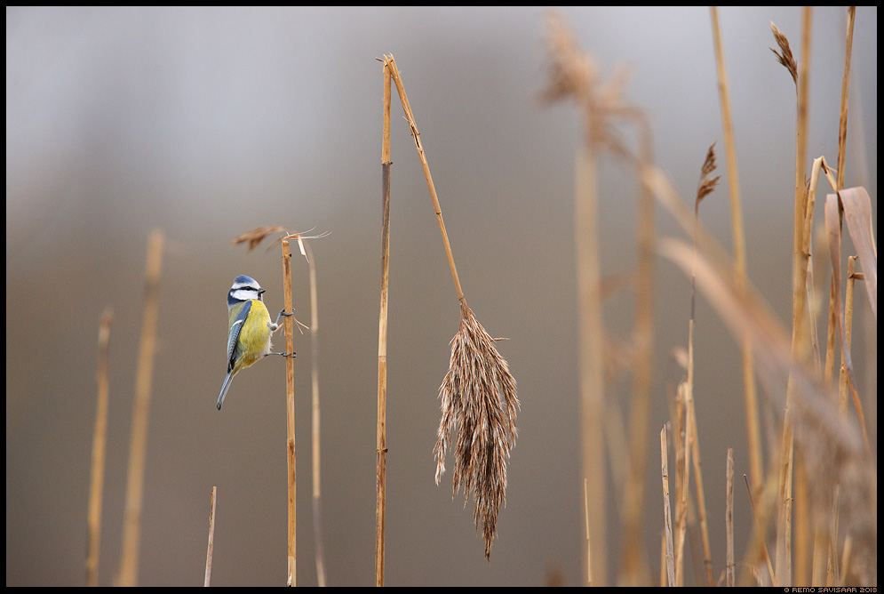 Sinitihane, Blue tit, Parus caeruleus pilliroog reedbed reed Remo Savisaar Eesti loodus  Estonian Estonia Baltic nature wildlife photography photo blog loodusfotod loodusfoto looduspilt looduspildid