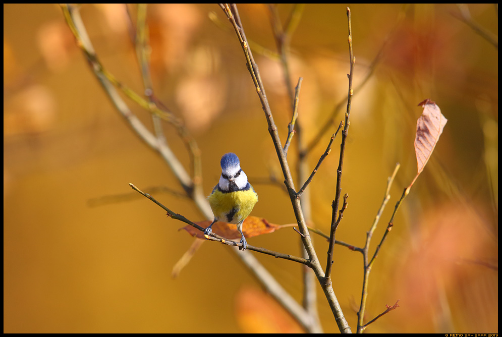 Sinitihane, Blue tit, Parus caeruleus sügis autumn fall Remo Savisaar Eesti loodus  Estonian Estonia Baltic nature wildlife photography photo blog loodusfotod loodusfoto looduspilt looduspildid