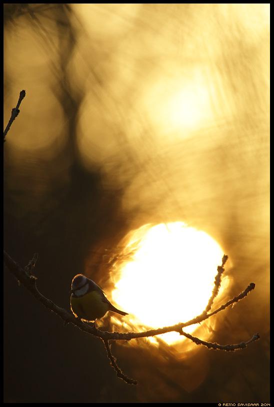 Sinitihane, Blue tit, Parus caeruleus  Remo Savisaar Eesti loodus Estonian Estonia Baltic nature wildlife photography photo blog loodusfotod loodusfoto looduspilt looduspildid