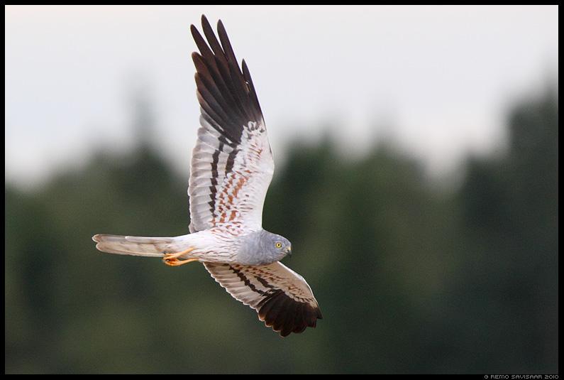 Soo-loorkull, Montagu's Harrier, Circus pygargus