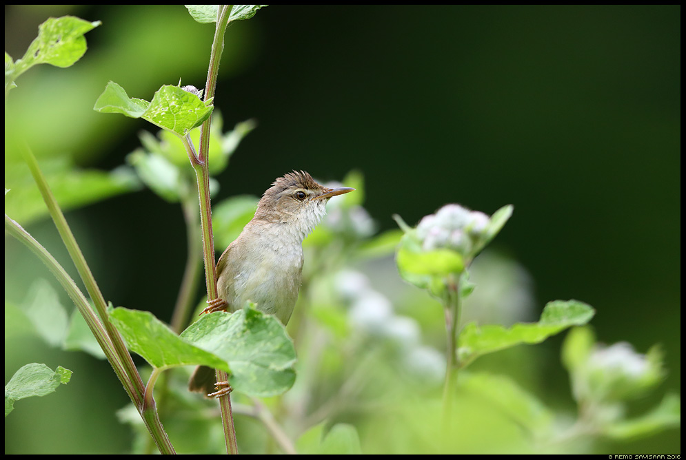 Soo-roolind, Marsh Warbler, Acrocephalus palustris Remo Savisaar Eesti loodus  Estonian Estonia Baltic nature wildlife photography photo blog loodusfotod loodusfoto looduspilt looduspildid