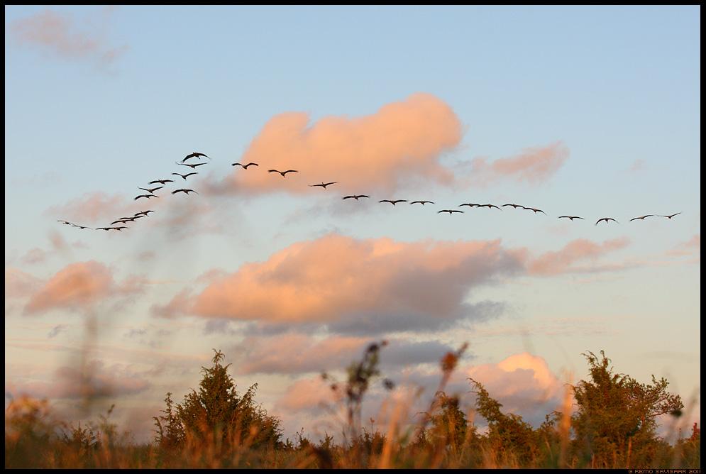 Sookurg, Crane, Grus grus, Matsalu, päikeseloojang, sunset, ränne, sügisränne, migration