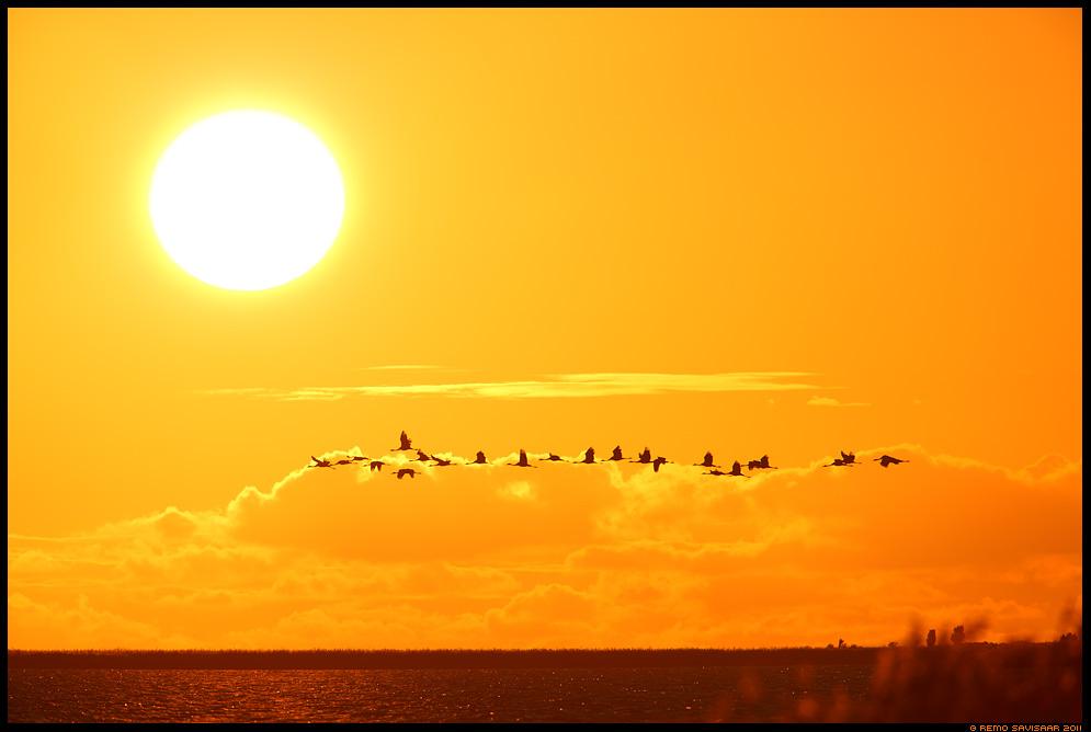 Sookurg, Crane, Grus grus, Matsalu, meri, baltic sea, sea, läänemeri, päike, päikeseloojang
