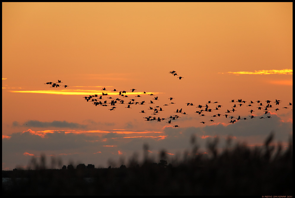 Sookurg, Crane, Grus grus Rändeaeg, Migration time Remo Savisaar Eesti loodus Estonian Estonia Baltic nature wildlife photography photo blog loodusfotod loodusfoto looduspilt looduspildid