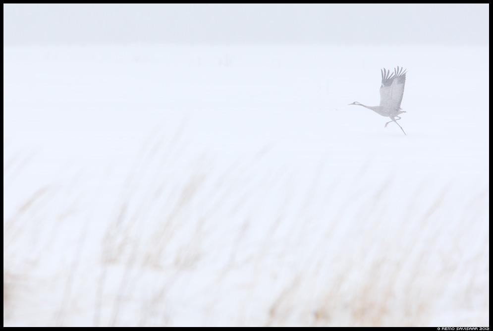 Sookurg, Crane, Grus grus, talv, winter, haruldane vaatepilt, rare sight