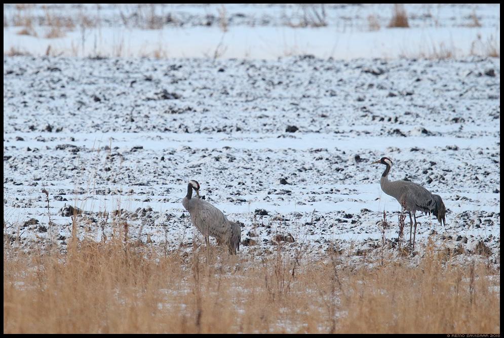 Sookurg, Crane, Grus grus  Remo Savisaar Eesti loodus  Estonian Estonia Baltic nature wildlife photography photo blog loodusfotod loodusfoto looduspilt looduspildid