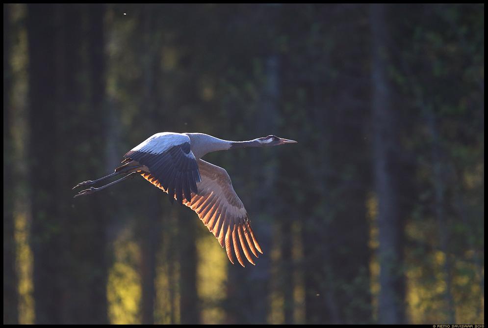 Sookurg, Crane, Grus grus  Remo Savisaar Eesti loodus Estonian Estonia Baltic nature wildlife photography photo blog loodusfotod loodusfoto looduspilt looduspildid landscape nature wild wildlife nordic