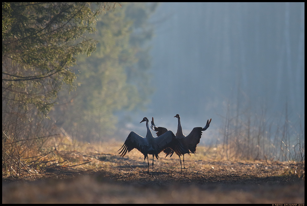 Sookurg, Crane, Grus grus mets forest emajõe suursoo Remo Savisaar Eesti loodus Estonian Estonia Baltic nature wildlife photography photo blog loodusfotod loodusfoto looduspilt looduspildid landscape nature wild wildlife nordic