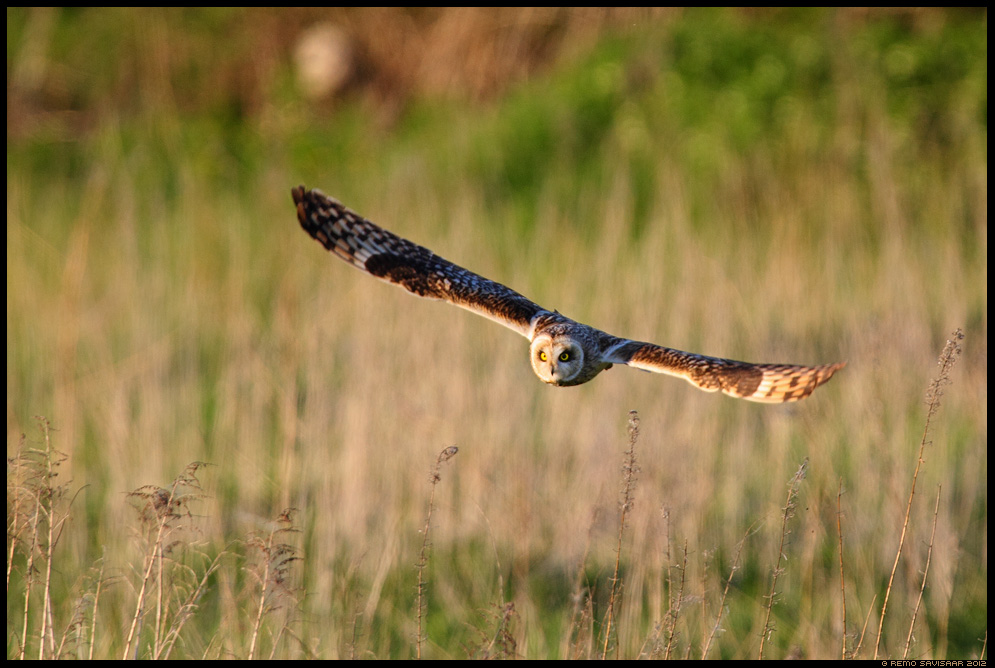 Sooräts, Short-eared Owl, Asio flammeus