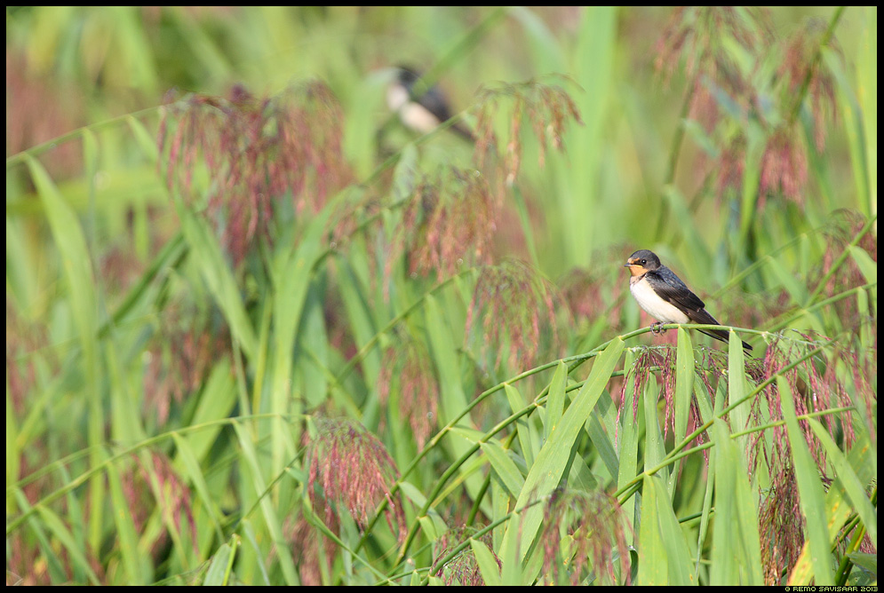 Suitsupääsuke, Barn Swallow, Hirundo rustica Remo Savisaar Eesti loodus  Estonian Estonia Baltic nature wildlife photography photo blog loodusfotod loodusfoto looduspilt looduspildid