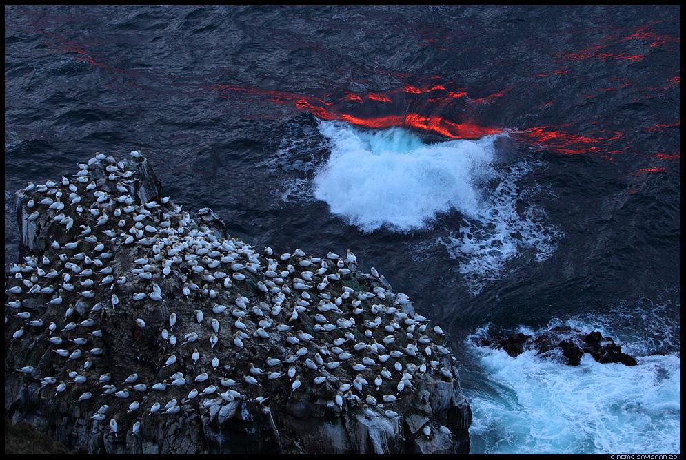 Island, Iceland, Põhjamaine papagoi, Suulade koloonia, Gannet colony, Suula, Northern Gannet, Morus bassanus, keskööpäike, midnight sun