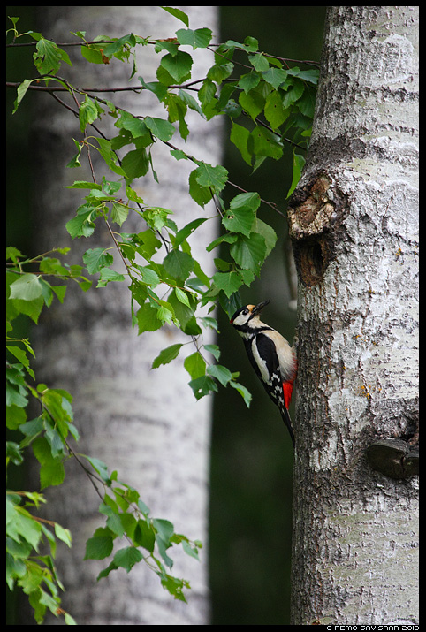 Suur-kirjurähn, Great Spotted Woodpecker, Dendrocopos Major