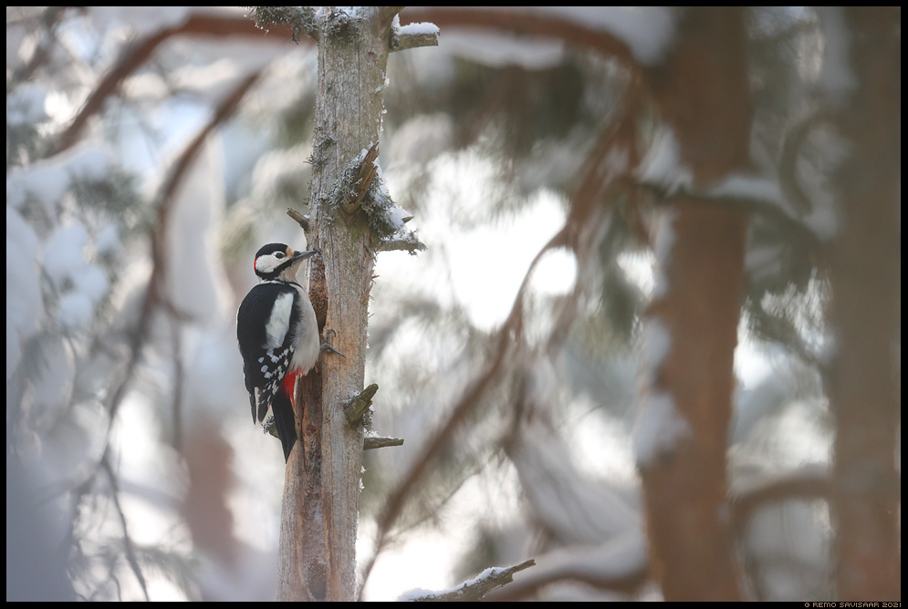 Suur-kirjurähn, Great Spotted Woodpecker, Dendrocopos major  Remo Savisaar Eesti loodus Estonian Estonia Baltic nature wildlife photography photo blog loodusfotod loodusfoto looduspilt looduspildid landscape nature wild wildlife nordic